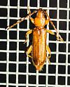 Smodicum cucujiforme - Flat Oak Borer for verification and record for Arkansas - Smodicum cucujiforme