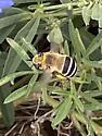 Digger bee? - Anthophora walshii