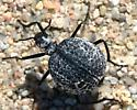 Round Pitted Beetle - Cysteodemus armatus