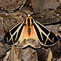 Nais Tiger Moth - Hodges#8171 - Apantesis phalerata - male