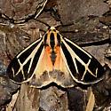 Nais Tiger Moth - Hodges#8171 - Apantesis phalerata