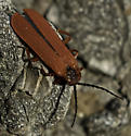 Dictyopterus--which? - Dictyoptera simplicipes
