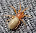 O. gertschi female - Orthonops gertschi - female