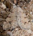 2958 Beige Moth