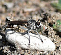 Stichopogon trifasciatus (Three-banded Robber Fly) - Stichopogon trifasciatus