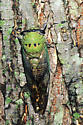Superb Dog-Day Cicada - Neotibicen superbus