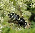 Unidentified Wasp or Fly - Stratiomys badia