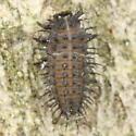 Chilocorus larva - Chilocorus