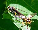 Mating Echthodopa - Echthodopa formosa - male - female