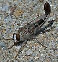 Apiocera - male