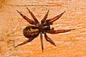 Spider - Callobius bennetti
