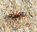 Big-headed Ant - Pheidole pilifera