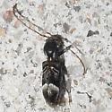 longhorn beetle - Tilloclytus geminatus