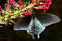 Pipevine Swallowtail - Battus philenor - Battus philenor - female
