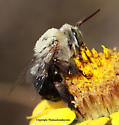 Bee - Centris