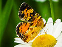 Northern or Pearl Crescent - Phyciodes cocyta - female