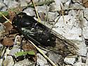 male lyric cicada-dorsal view/Tibicen lyricen engelhardti - Neotibicen lyricen - male