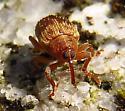 weevil - Lignyodes bischoffi