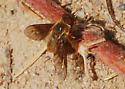 Orange County Bee Fly Archives - Is this Paravilla fumida? - Paravilla fumida