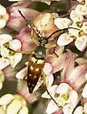 Typocerus velutinus? - Typocerus velutinus