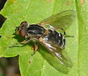 Unknown Syrphid - Lejops