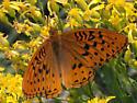 Leto Fritillary (Speyeria cybele ssp. leto) - Speyeria