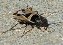 Gussied-up bug - Xanthochilus saturnius