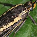 Dark Brown and Yellow Insect - Esperia sulphurella