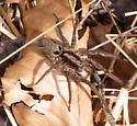 Spider for ID - Gladicosa gulosa