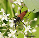 Longhorn Beetle - Brachyleptura rubrica