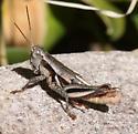 Acrididae-Melanoplus - Conalcaea huachucana - male