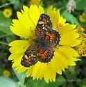 Butterfly Id help please - Phyciodes phaon - female