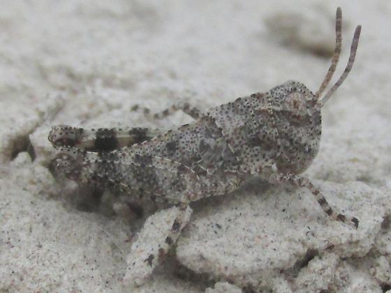 Trimerotropis fratercula