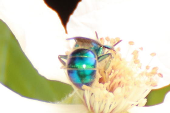 Augochloropsis? - Augochloropsis