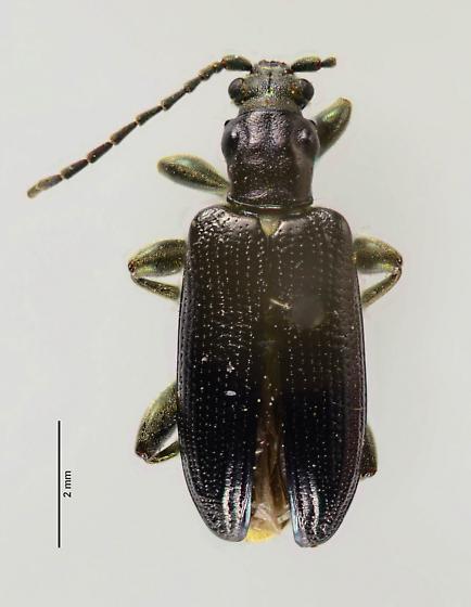 Donacia or Plateumaris? - Plateumaris - female