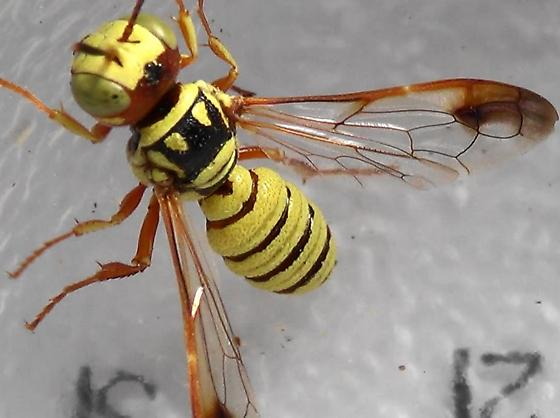 Wasp-scan Mr. E. to see Dr. A. (wings & legs) - Eucerceris - male