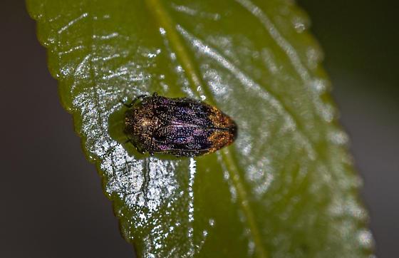 Jewel-like bug - Brachys aerosus