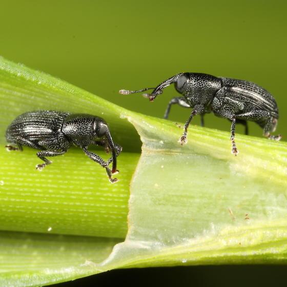 Scirpus weevils - Sibariops