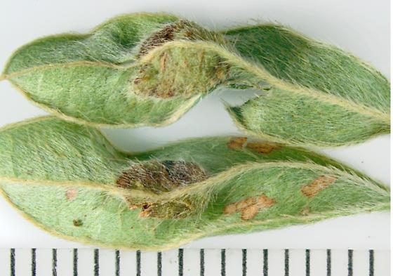 Bush clover leaf mid-vein pouch galls