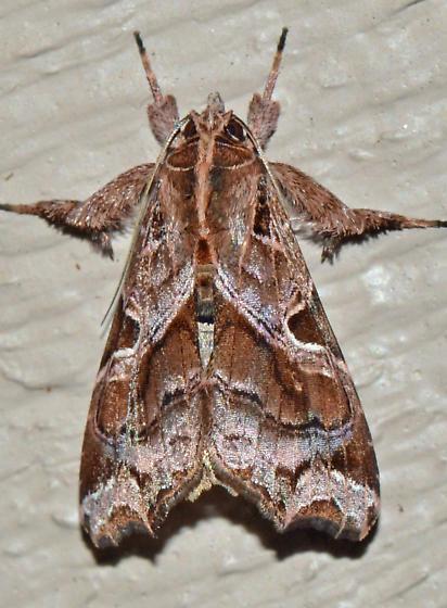 ? - Callopistria floridensis
