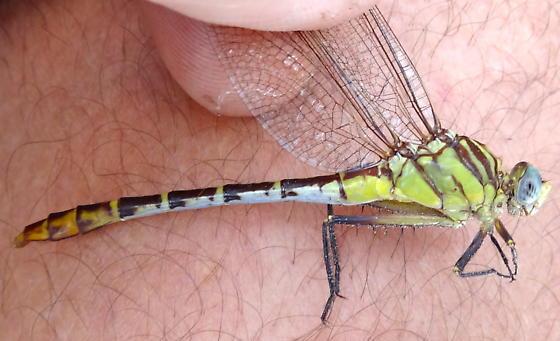 Dromogomphus spoliatus; anyone think differently? - Dromogomphus spoliatus - female