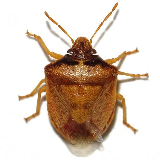 Pentatomidae - Dendrocoris contaminatus