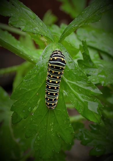 ID, please? - Papilio polyxenes