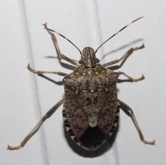Orange-spotted stink bug - Halyomorpha halys