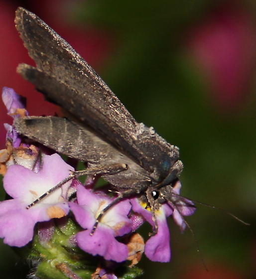 Which moth is this? - Peridroma saucia
