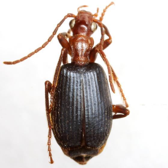 Brachinus geniculatus Dejean - Brachinus geniculatus