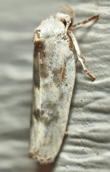 Moth 3 - Antaeotricha