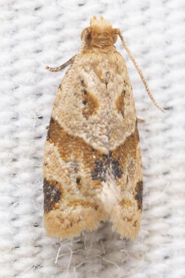 >:) face moth - Clepsis peritana