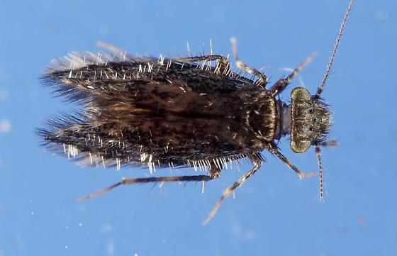 Psocidae - Echmepteryx hageni