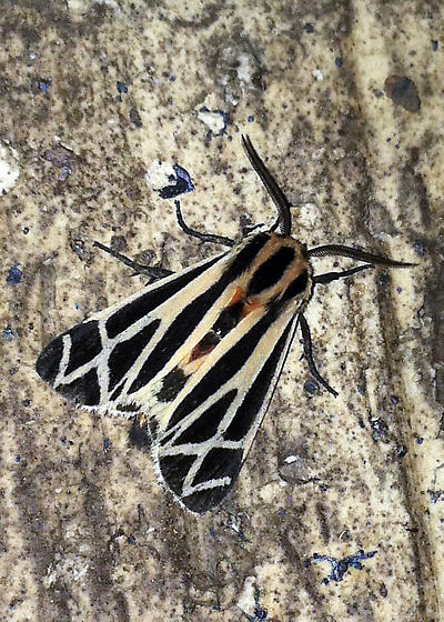 Tiger Moth - Apantesis